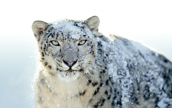 Snow-Leopard in 1024x768px